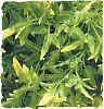 Zoo Med Plant Bolivian Croton Medium